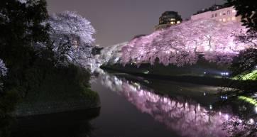 chidorigafuchi night cherry blossom