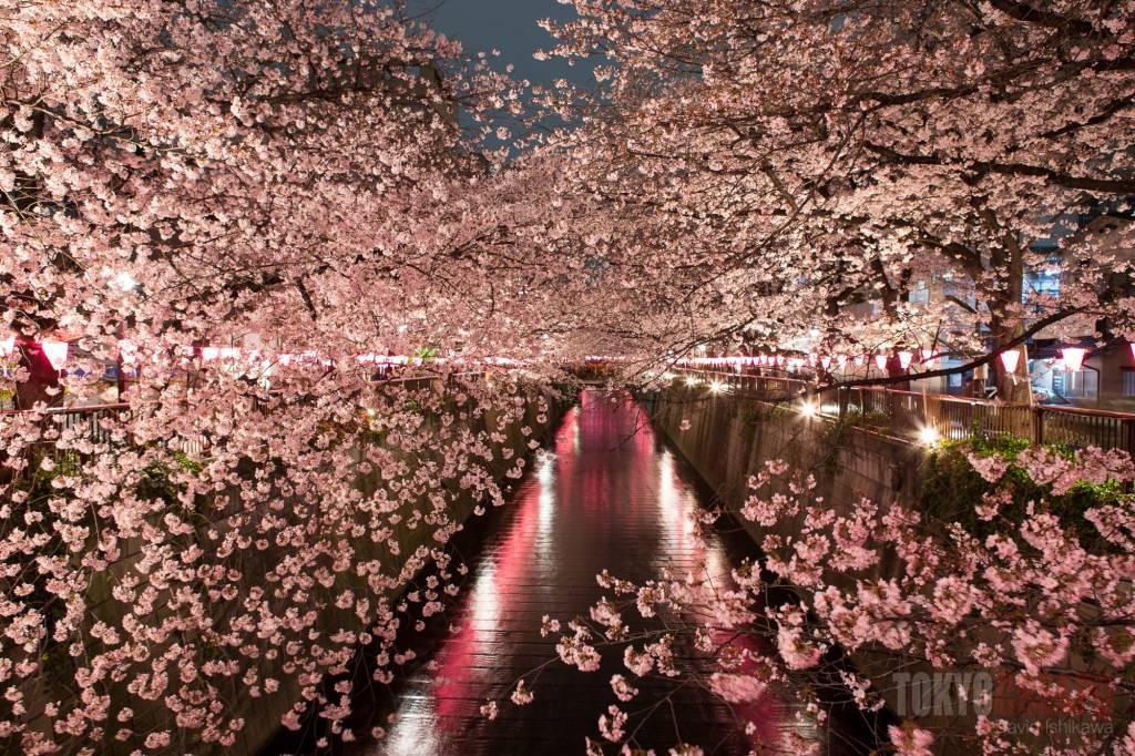 sakura cherry blossoms tokyo