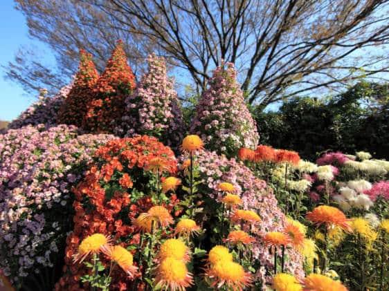 Jindai Botanical Garden Chrysanthemum Festival