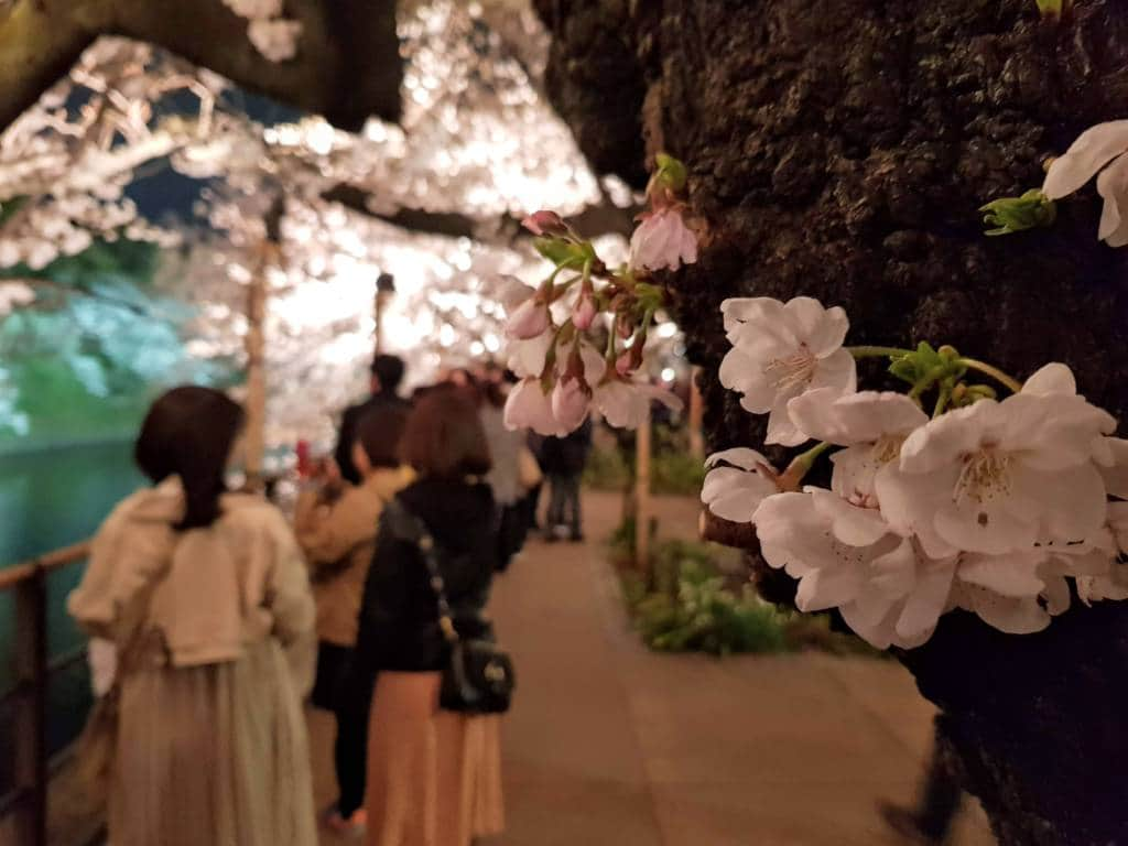 Chidorigafuchi Night Cherry blossom viewing