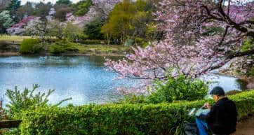 Elderly Artist Painting a Landscape of Cherry Blossom