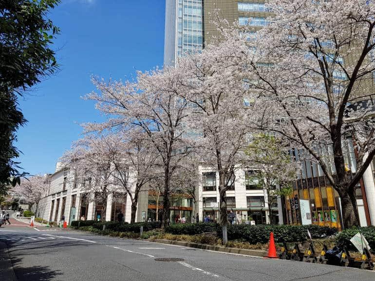 Akasaka Sacas Cherry Trees