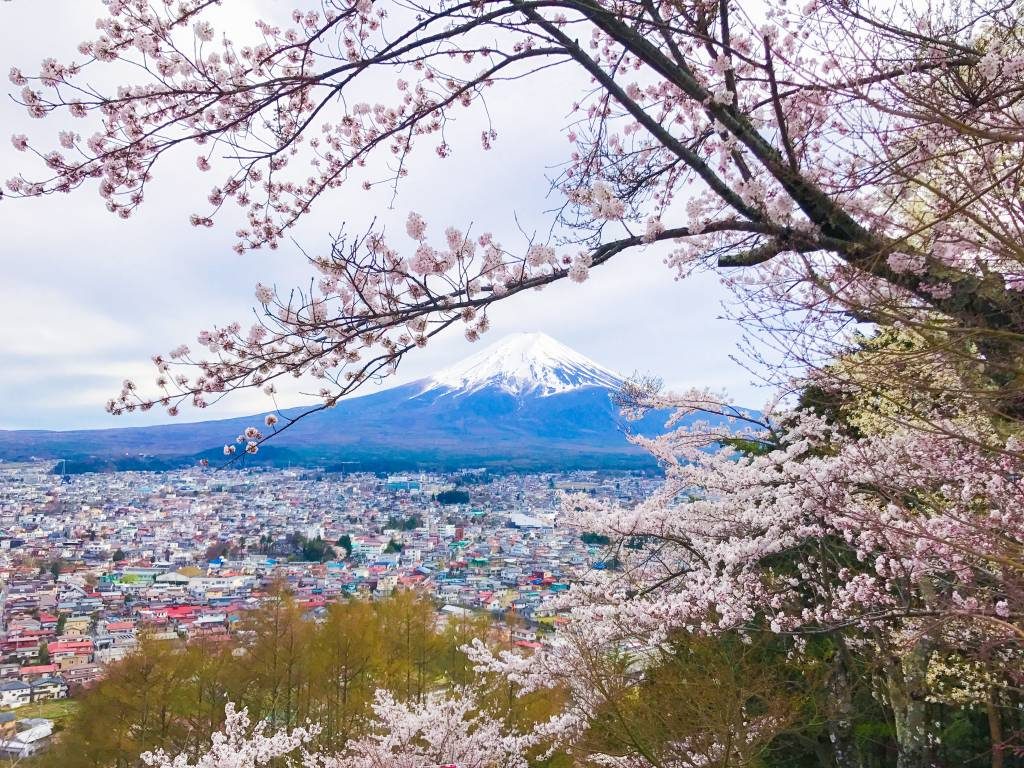 fuji-san with cherry blossoms